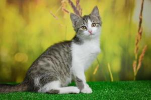 gato malhado prateado sentado sobre fundo verde