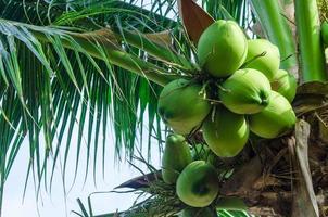 fruto de coqueiro