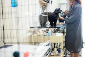 mulher cortando cabelo de cachorro e limpando em pet shop