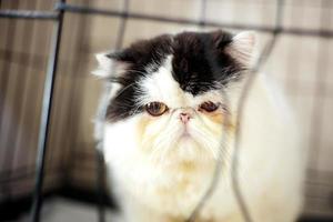 gato grande em uma gaiola