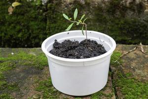 jovem planta de romã em recipiente reciclado