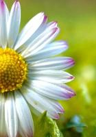 linda flor de margarida branca na primavera foto