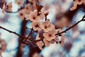flor de cerejeira sakura na primavera foto
