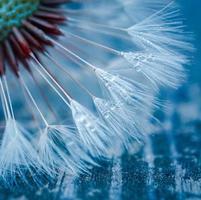 linda semente de dente-de-leão na primavera foto