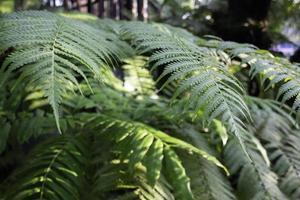 grande planta de samambaia no jardim foto