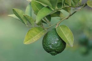 limão ou lima verde em uma árvore