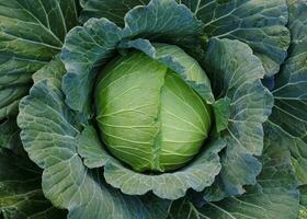 close up de repolho verde fresco amadurecendo cabeças crescendo em um campo agrícola foto