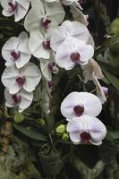 orquídea rosa claro no jardim foto