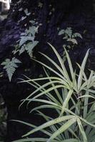 planta ornamental no jardim foto