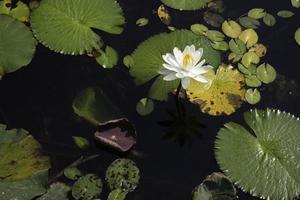 lírios em um lago
