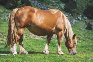 cavalo castanho pastando em um prado foto