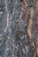 textura da casca de um velho pinheiro foto