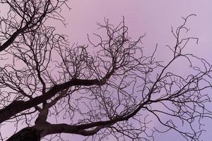galhos nus de uma castanheira ao pôr do sol roxo foto