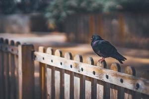 pombo preto descansando no topo de uma cerca de madeira foto