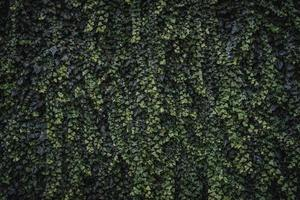 folhas verdes de trepadeira hera foto