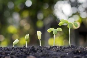 as mudas estão crescendo em solo fértil, incluindo a evolução do crescimento das plantas foto