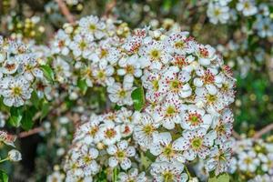 linda flor de amendoeira foto