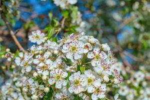 flor de amendoeira com abelha foto