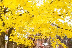 árvore ginkgo amarela foto