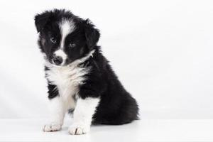 cachorro border collie foto
