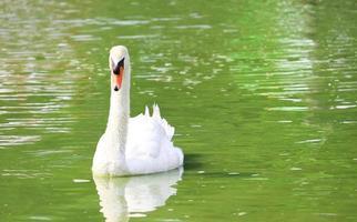 cisne branco em um lago