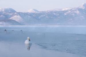 vista de cisnes ao amanhecer foto