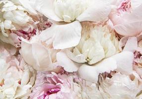 flores de peônia como um fundo natural