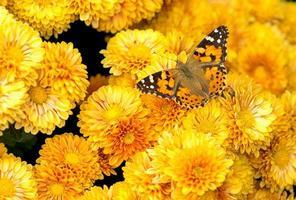 borboleta amarela e laranja entre crisântemos amarelos
