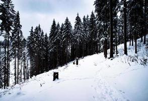 alta floresta de abetos no inverno