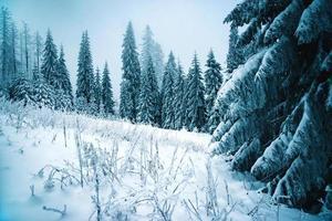 floresta de abetos coberta de neve
