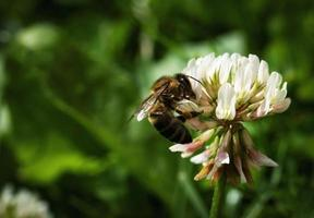 abelha em um trevo branco