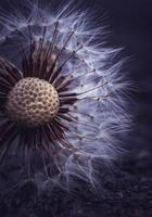 macro close-up de uma flor dente de leão na primavera foto