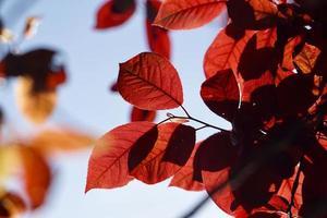 folhas vermelhas da árvore no outono foto