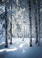 floresta densa de neve