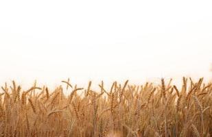 campo de cevada na temporada de verão foto
