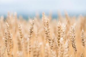close-up de baixo ângulo de um campo de trigo à luz do sol foto