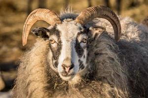 close-up de cervo de cabra sob a luz do sol foto