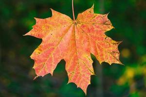 uma única folha de bordo vermelha à luz do sol de outono foto