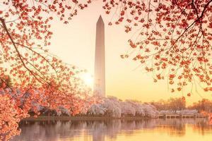monumento de washington durante o festival da flor de cerejeira