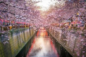 flor de cerejeira no canal meguro em tokyo, japão
