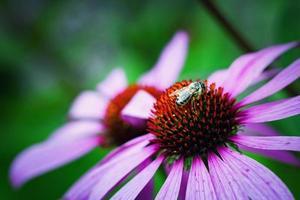 abelha molhada em equinácea