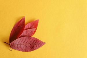 várias folhas vermelhas de cereja de outono caídas em um plano de fundo de papel amarelo foto
