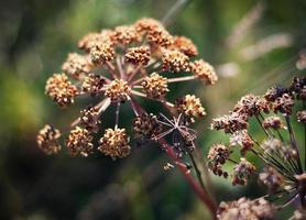 planta de cominho selvagem seco