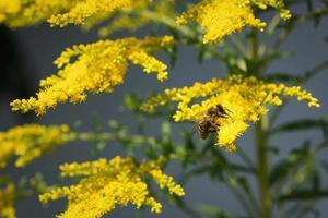 abelha em goldenrod