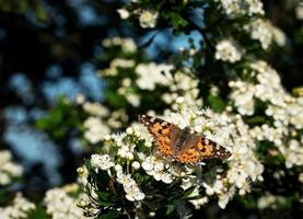 borboleta em flores brancas