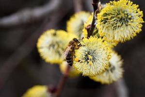close-up de uma abelha em uma flor de salgueiro