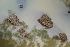 close-up da cabeça de um grande crocodilo de água doce na floresta