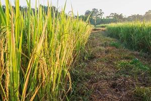 caminho em um campo de arroz