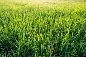 campo de arroz vibrante