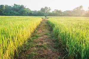 caminho entre campos de arroz